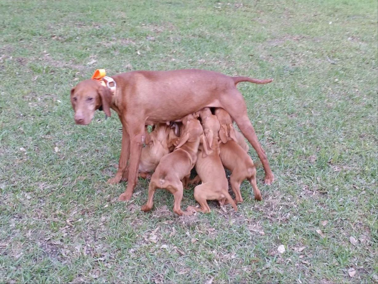 Vizslas puppies