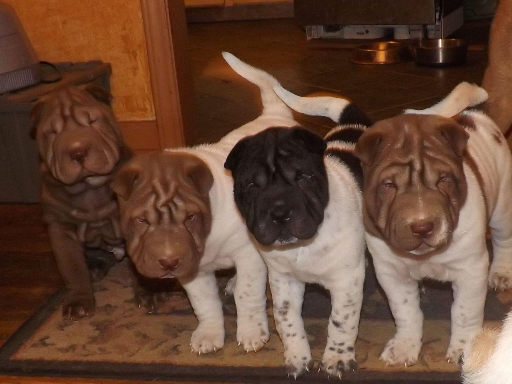 chinese shar pei puppies for sale akc marketplace. Black Bedroom Furniture Sets. Home Design Ideas
