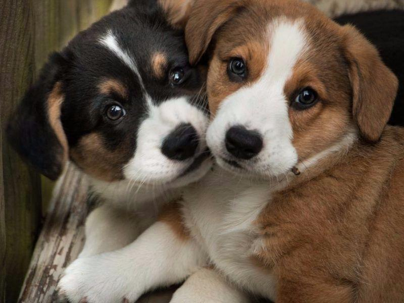 Cardigan Welsh Corgis puppies