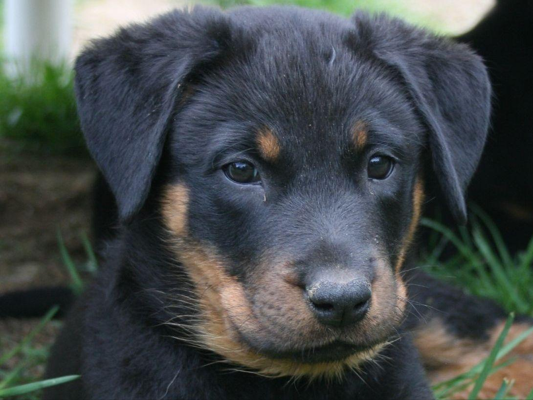 Beaucerons puppies