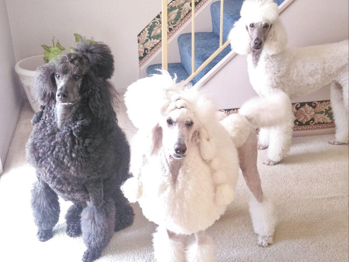 Poodles puppies