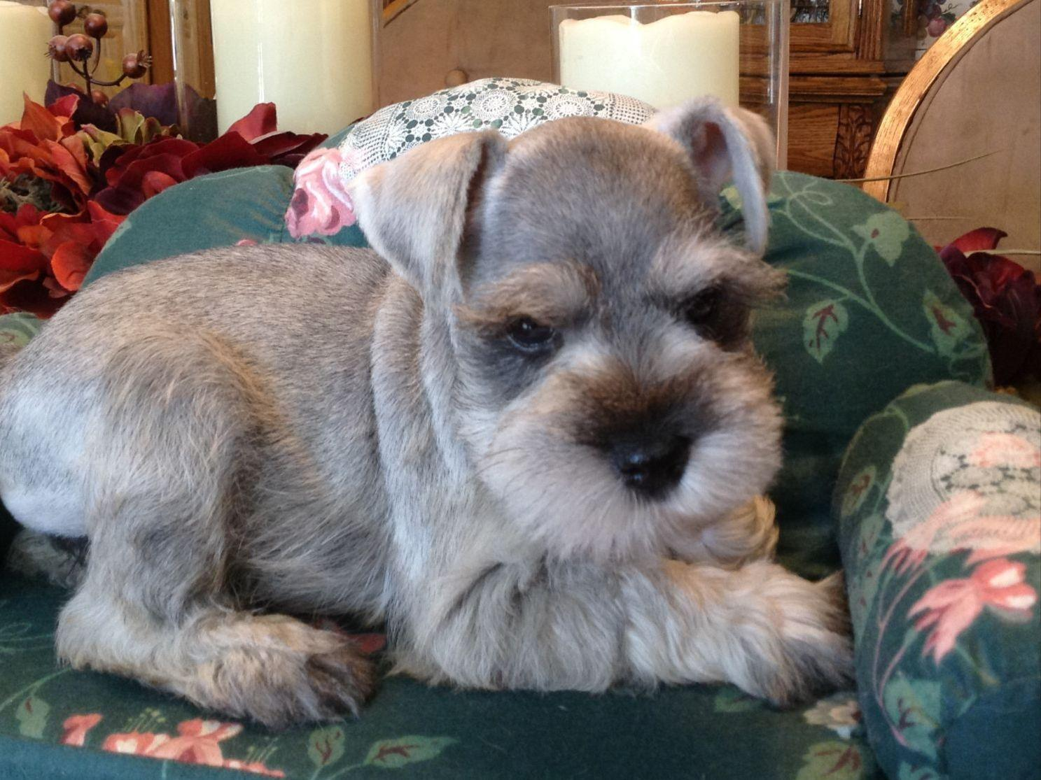 Schnauzer puppies for sale riverside ca