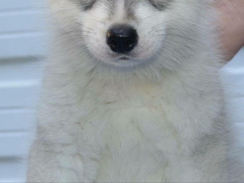 Siberian Husky For Sale by Liz DeMartino - American Kennel ...