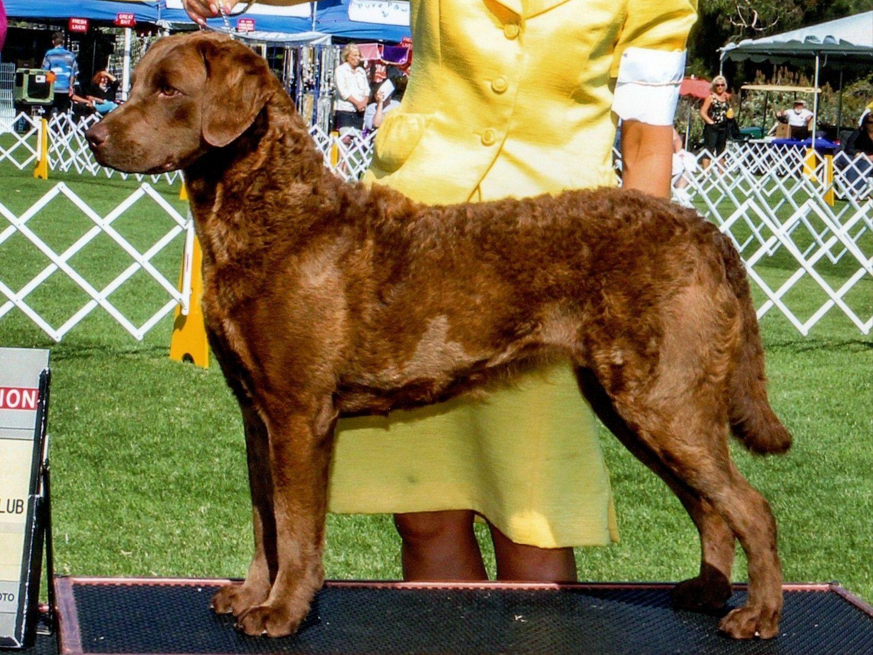Chesapeake Bay Retriever Puppies For Sale - AKC Marketplace