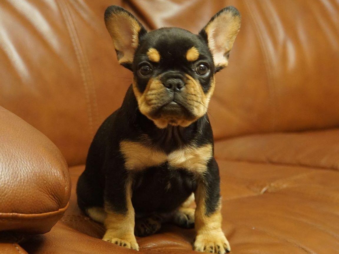 Black and tan french bulldog dna – Dog life photo