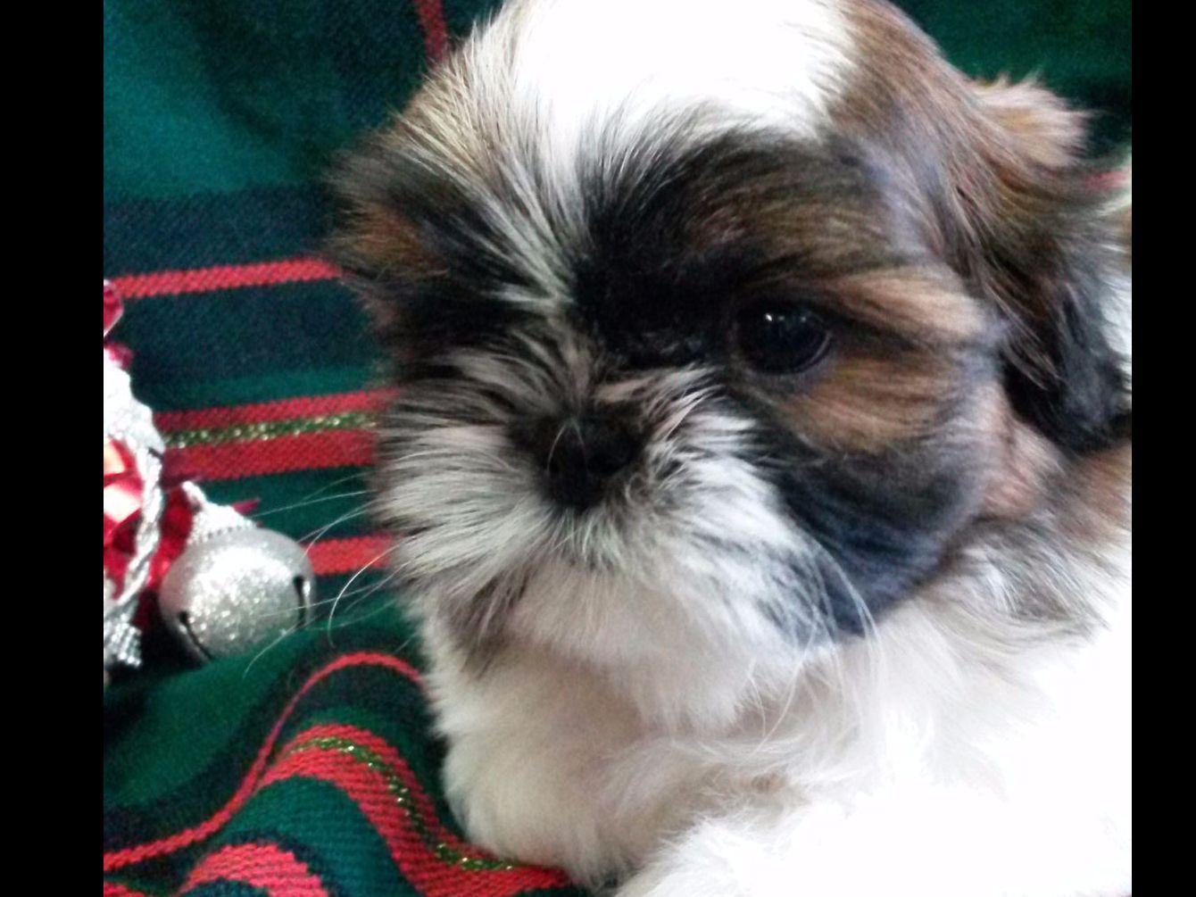 Jill Ryan - MIRALAN SHIH TZU - Shih Tzu Puppies For Sale