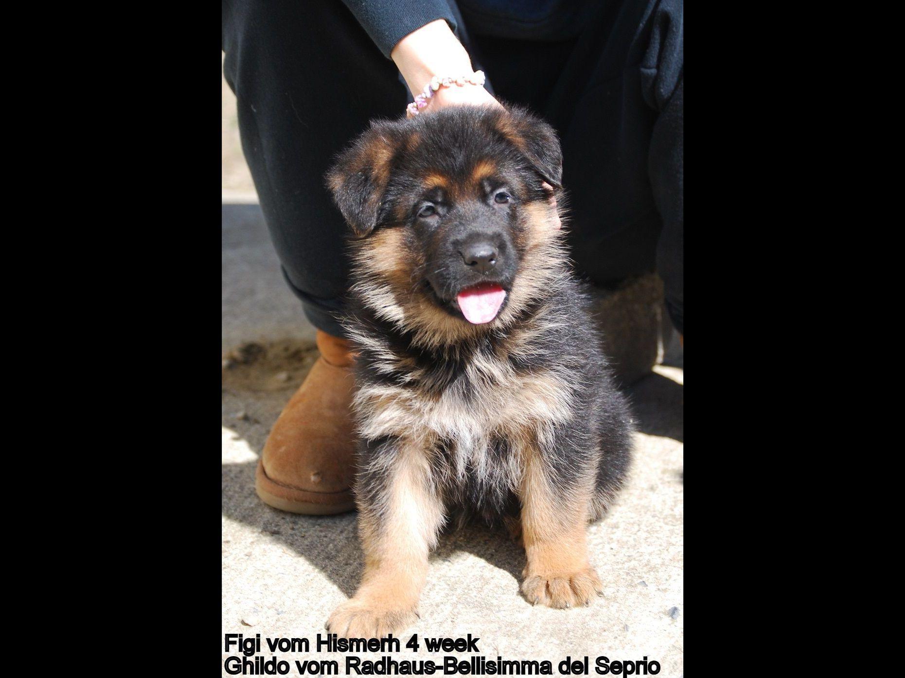 ... Europian German Shepherds and Dobermans - Dog Breeders - Marlton, NJ