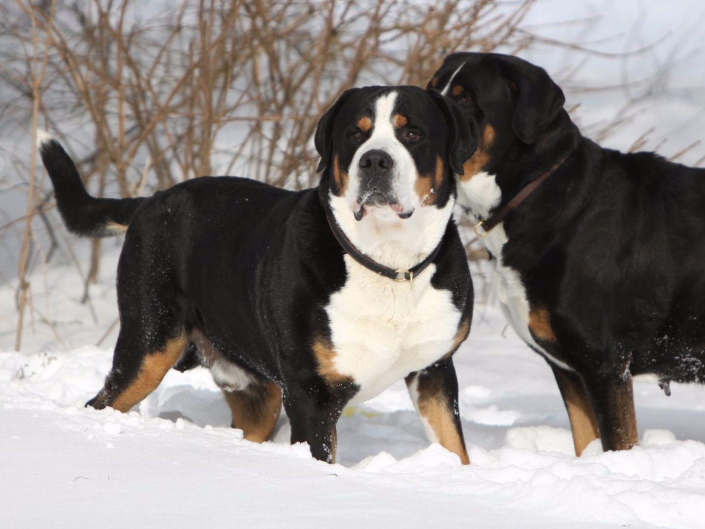 AEGIS Greater Swiss Mountain Dogs - Dog Breeders ...
