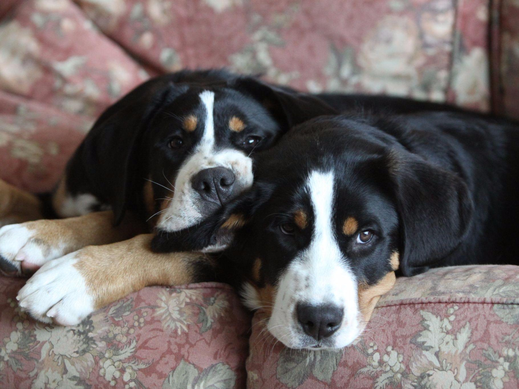 AEGIS Greater Swiss Mountain Dogs - Puppies For Sale