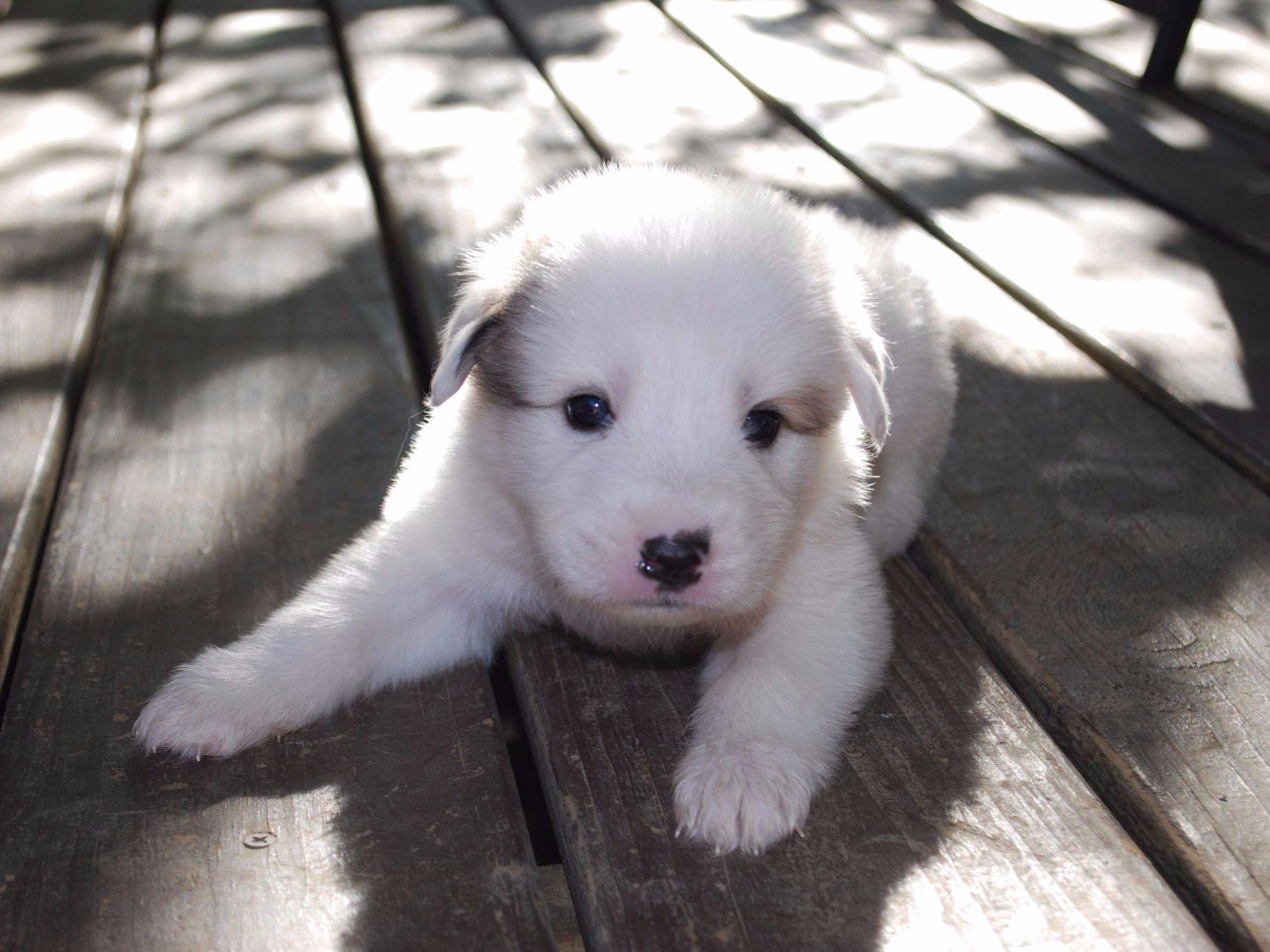 Great Pyrenees ... Utica Ms Land For Sale