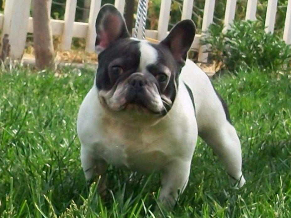 american french bulldog - photo #12