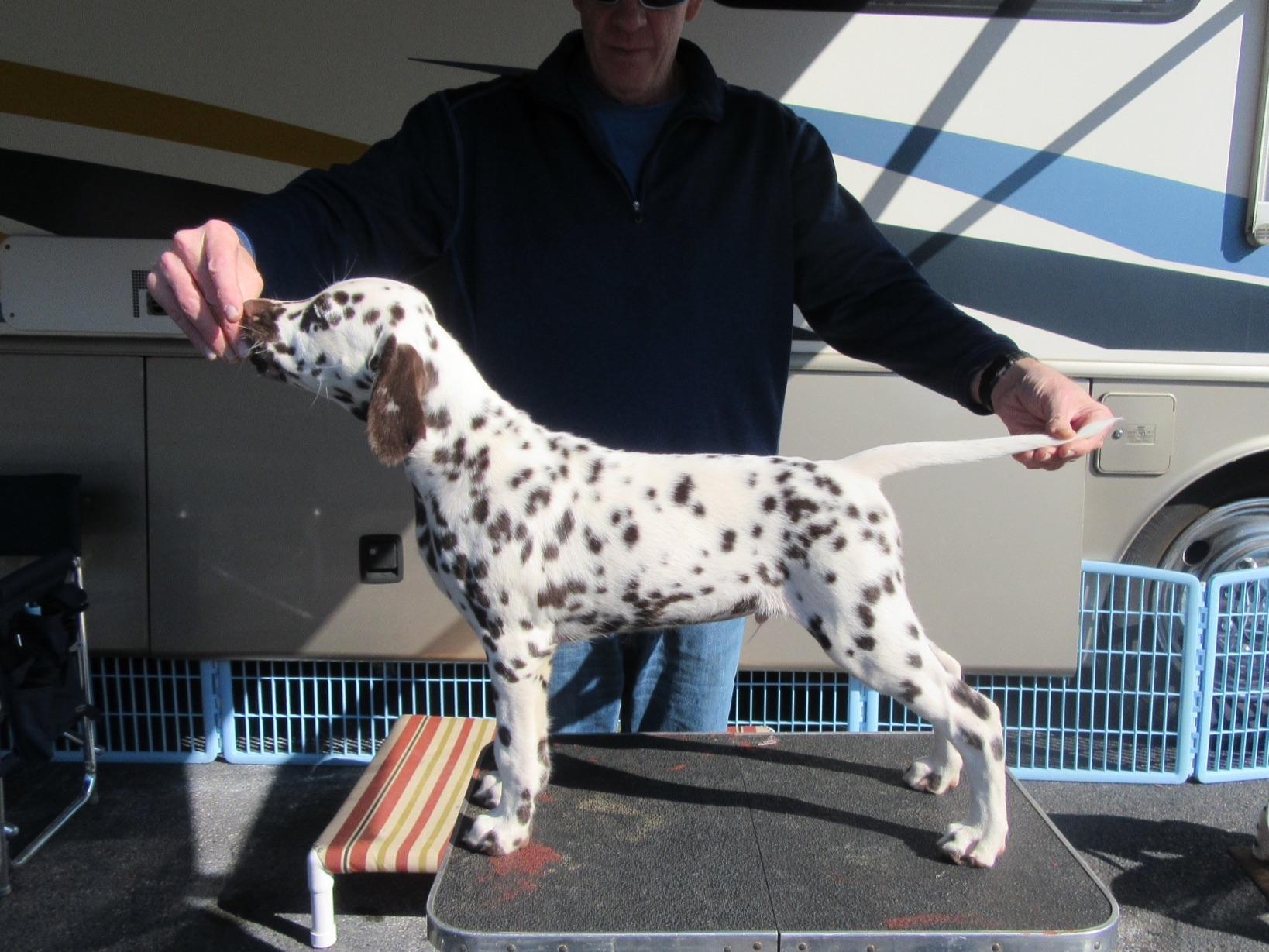 Dalmatian For Sale By Karen Rowan American Kennel Club