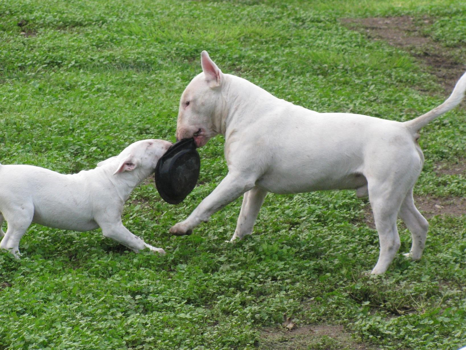 bestuvall bull terriers puppies for sale