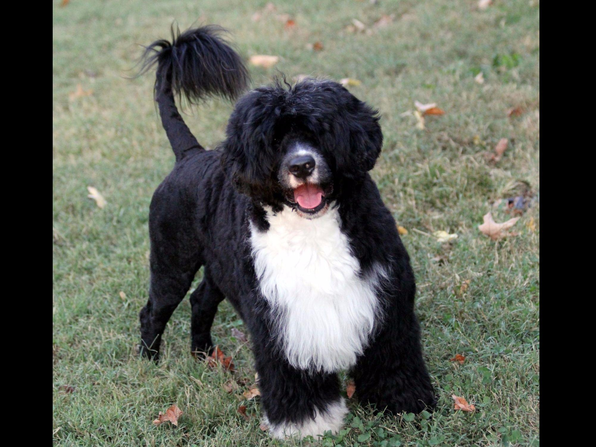 Patriot Portuguese Water Dogs Puppies For Sale