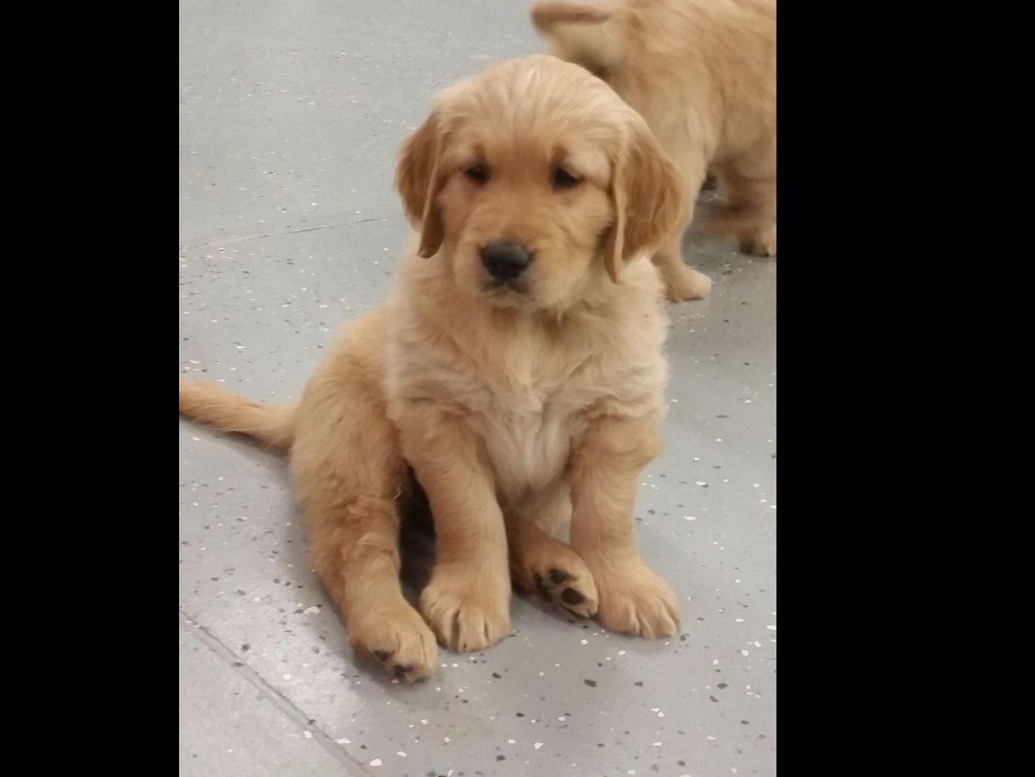 Cori calnan dog breeders statesville nc for Golden retriever puppies information