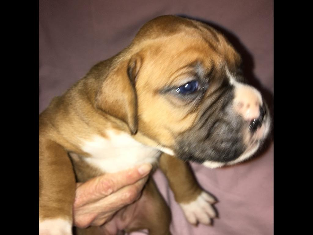 Boxer puppies for sale in las vegas