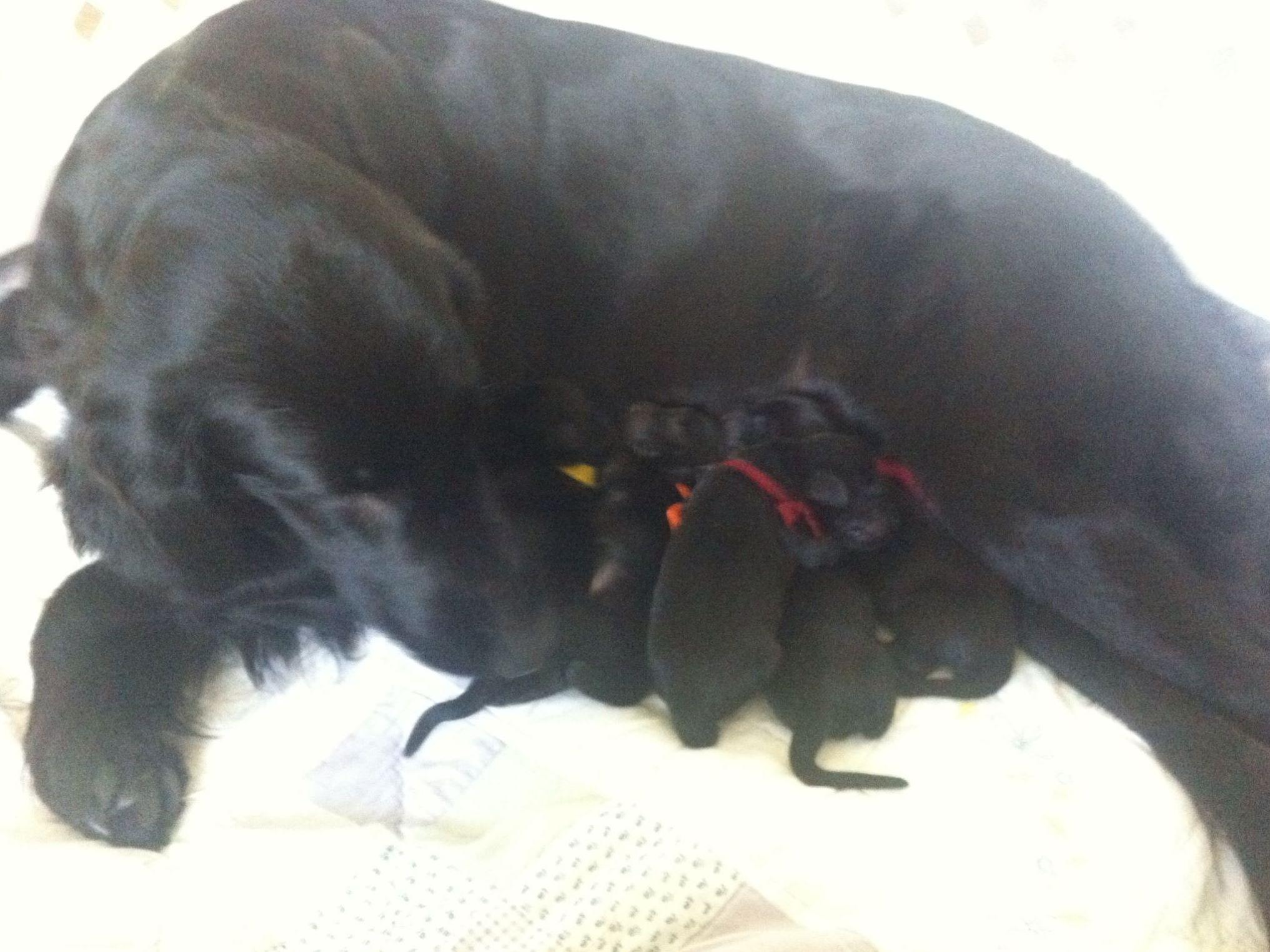 Stormwatch - Flat-Coated Retriever Puppies For Sale