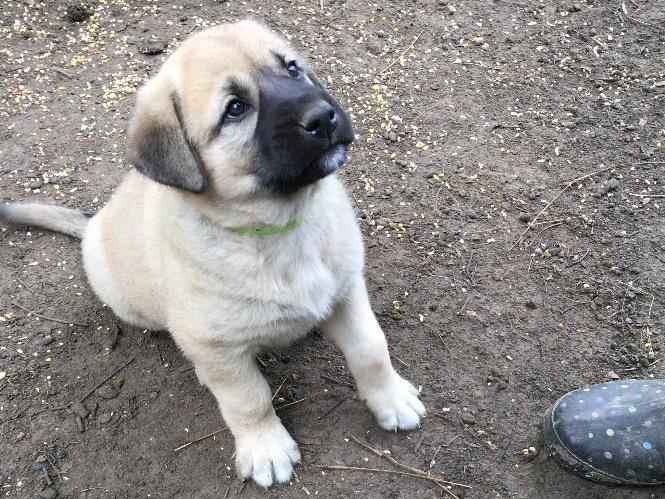Corban Acres Anatolian Shepherd Dog Puppies For Sale