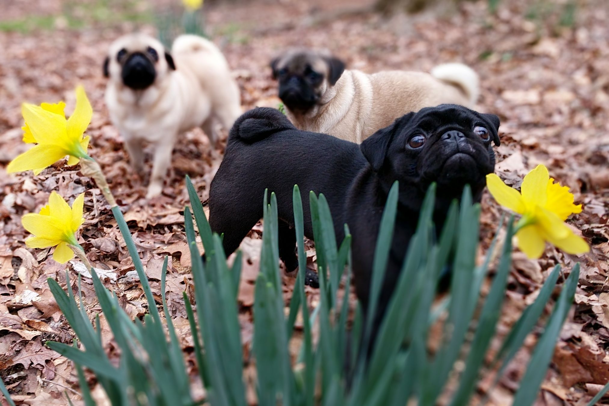 Puglicious Cuddled Pugs - Puppies For Sale