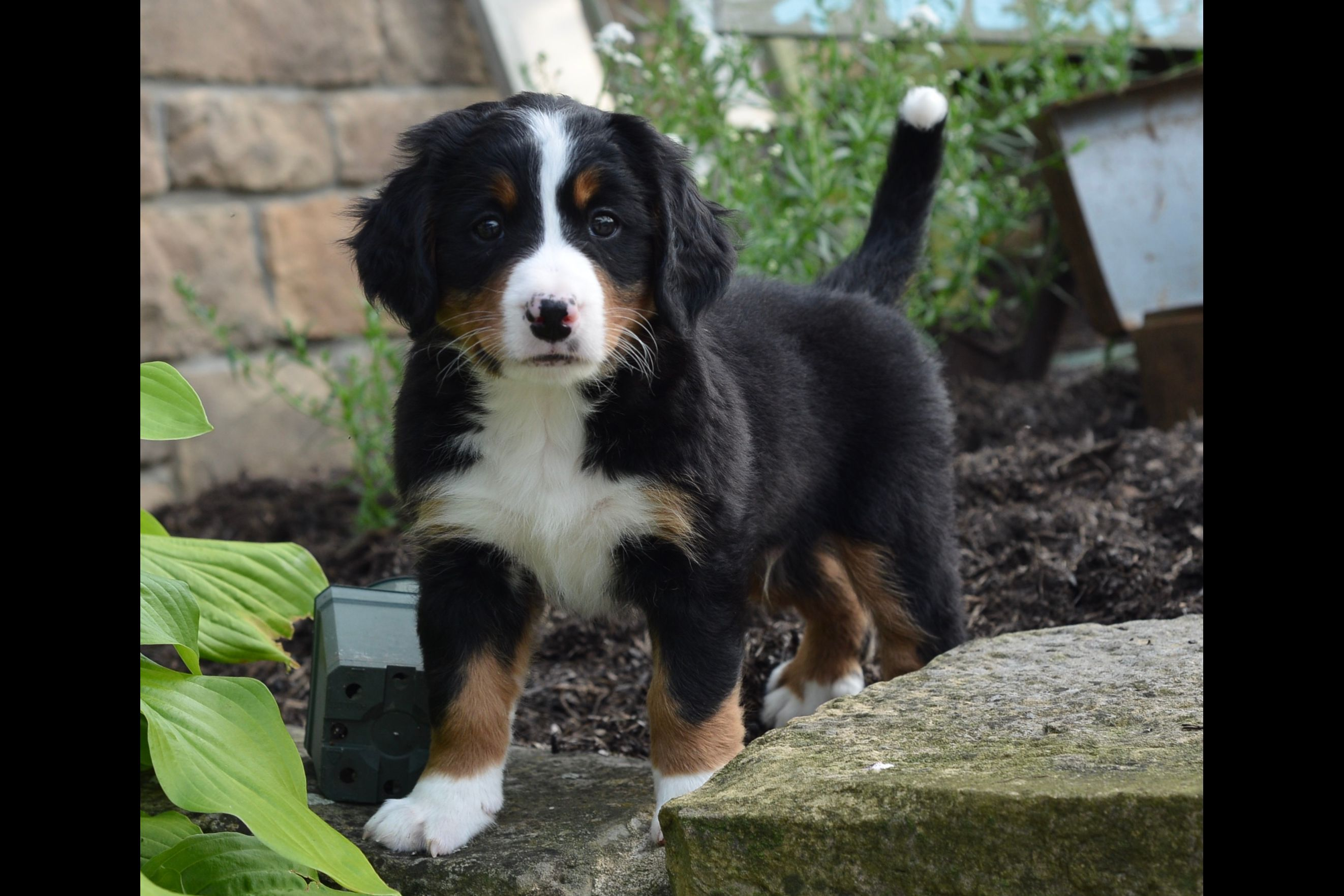Berners Of Ohio Puppies For Sale