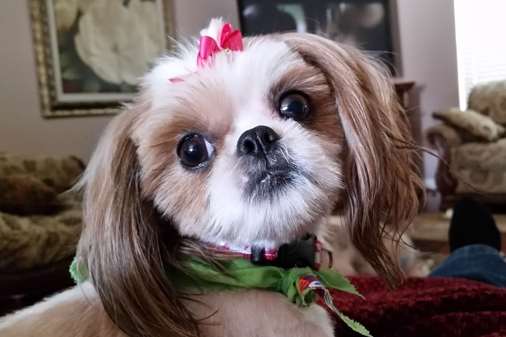 Kathy Creasy Beloved Shih Tzus Puppies For Sale