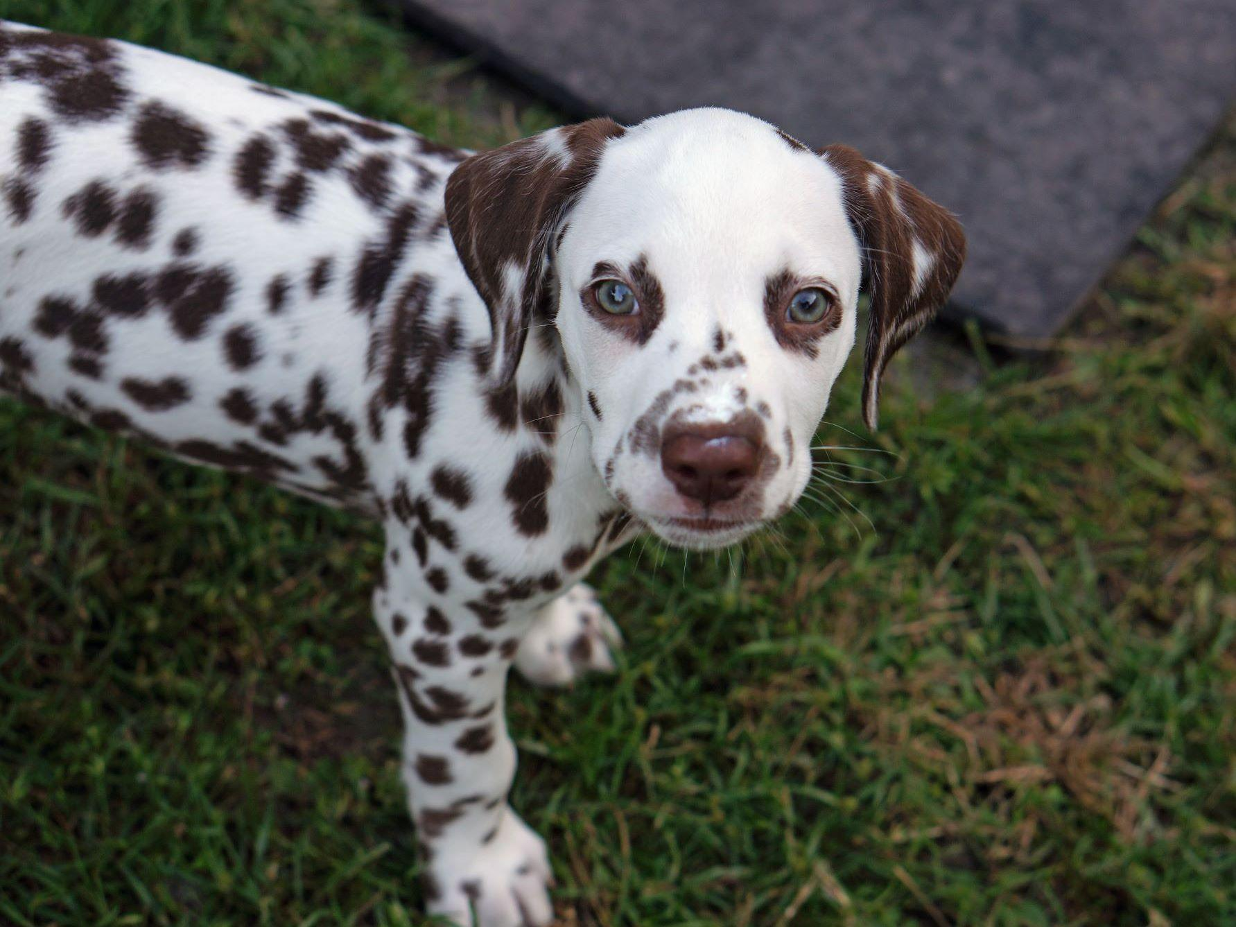 Obx Dalmatians Puppies For Sale
