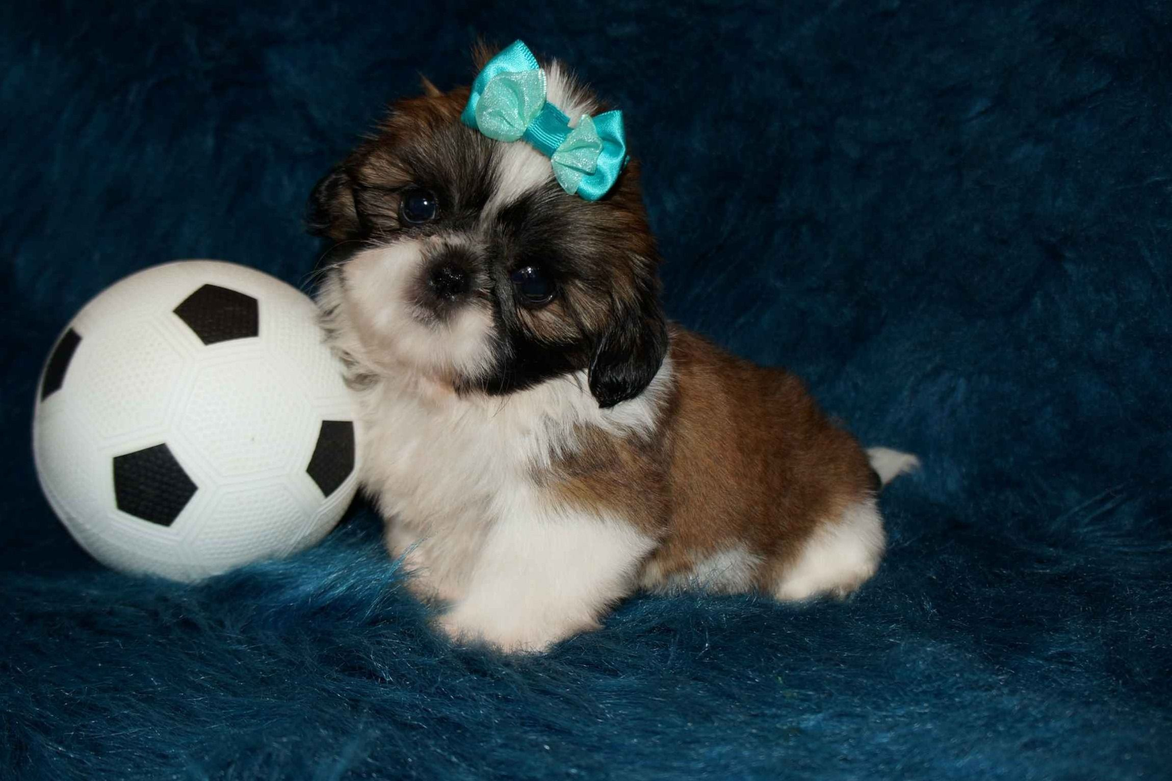Pandora's Puppies - Shih Tzu Puppies For Sale - Born on 06