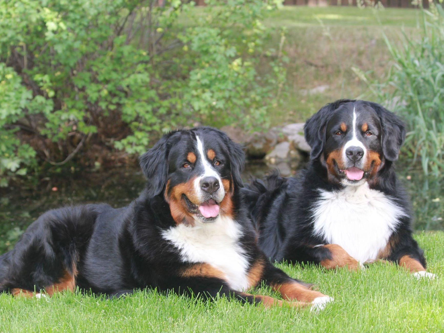 Akc Bernese Mountain Dog Puppies Sale