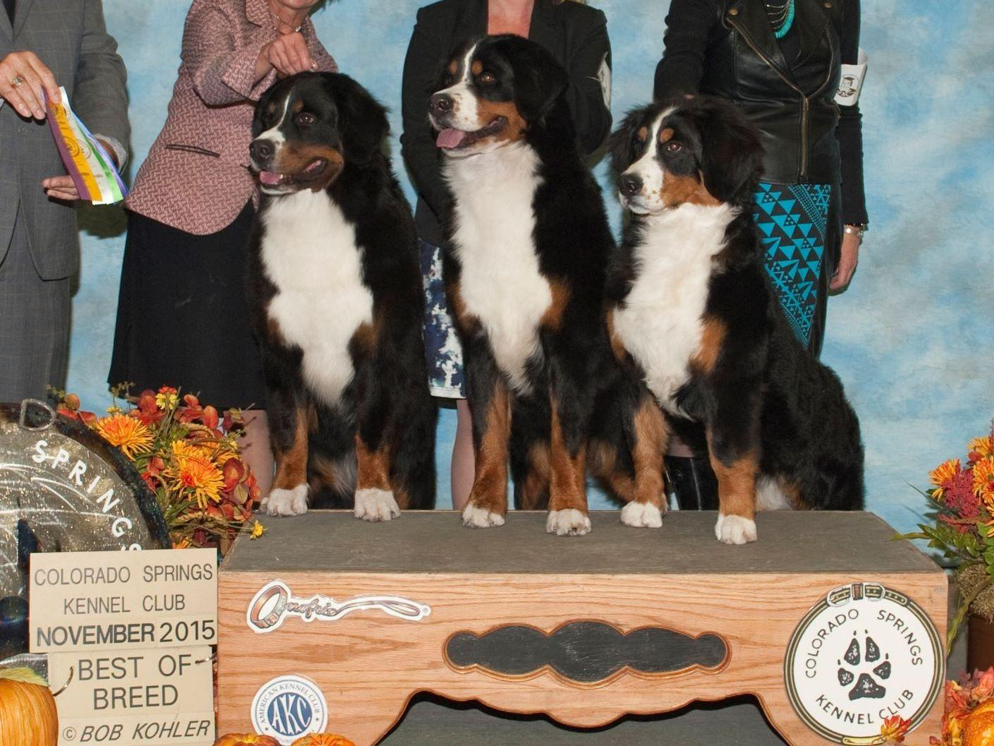 Tanzanite Bernese Mountain Dogs Puppies For Sale