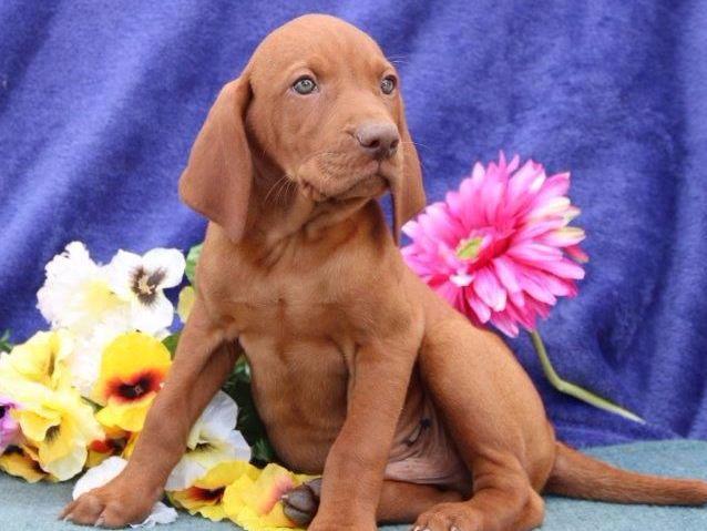 Samuel Stoltzfus - Puppies For Sale