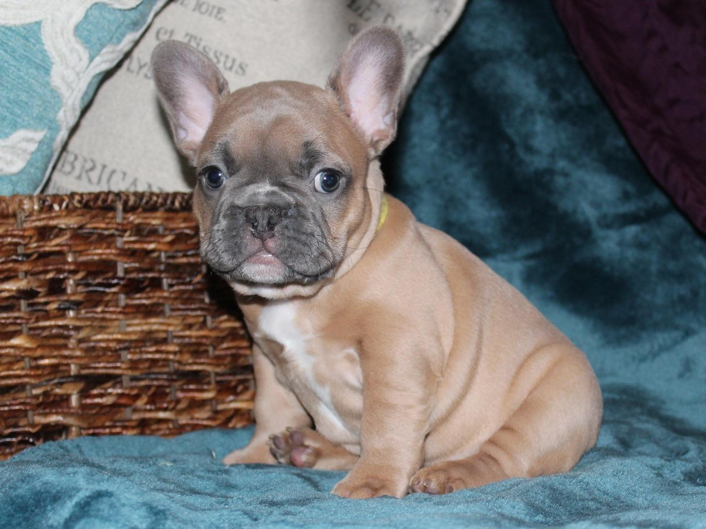 french bulldog breeders texas texas hills frenchies french bulldog puppies for sale 6308