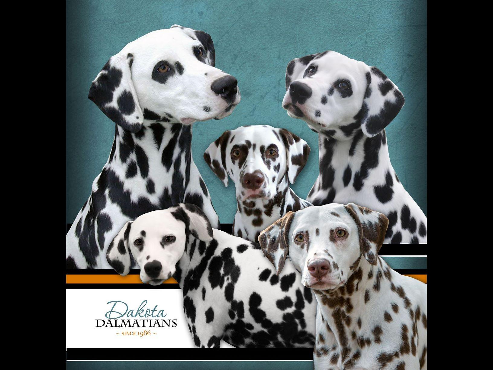 dakota dalmatians puppies for sale. Black Bedroom Furniture Sets. Home Design Ideas
