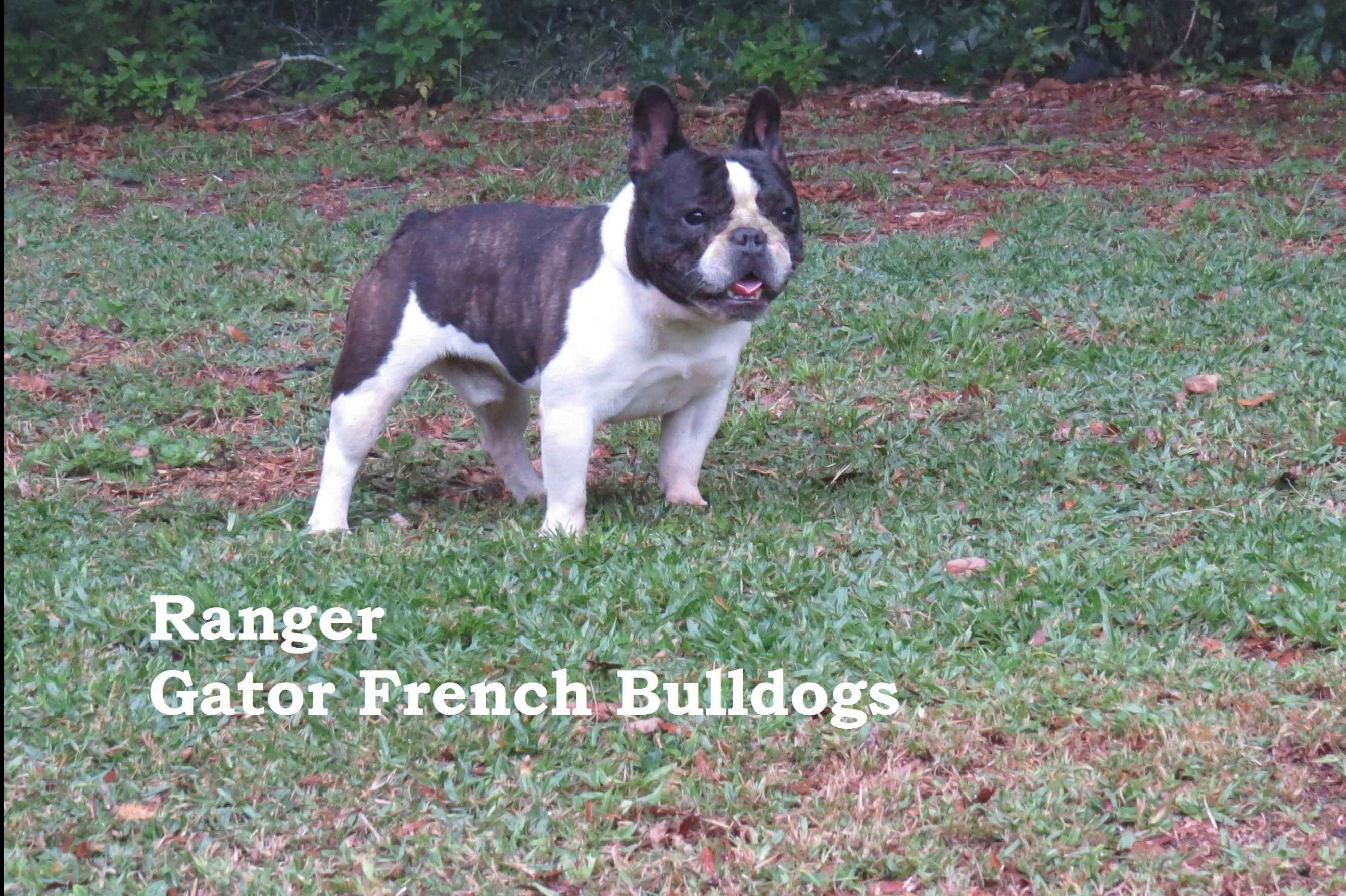 Gator French Bulldogs - Puppies For Sale