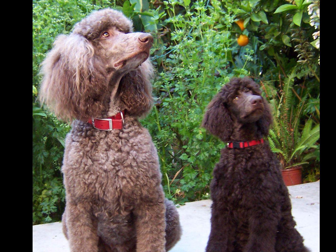 Shoreline Poodles Puppies For Sale
