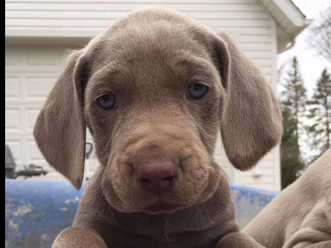 Shade Of Grey Weimaraners Puppies For Sale