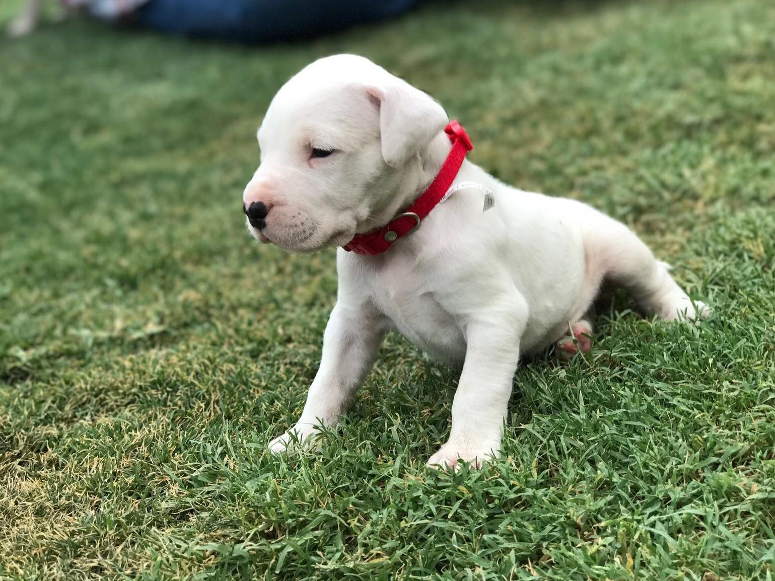 Argentino Dog For Sale