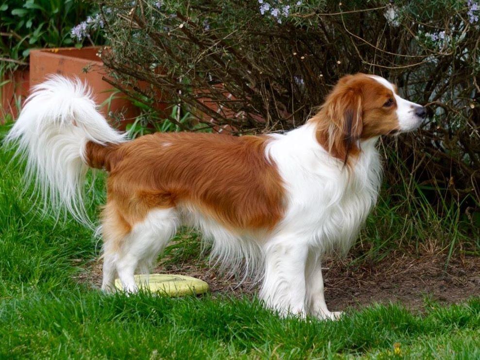 Waterbound Kooikerhondje Puppies For Sale