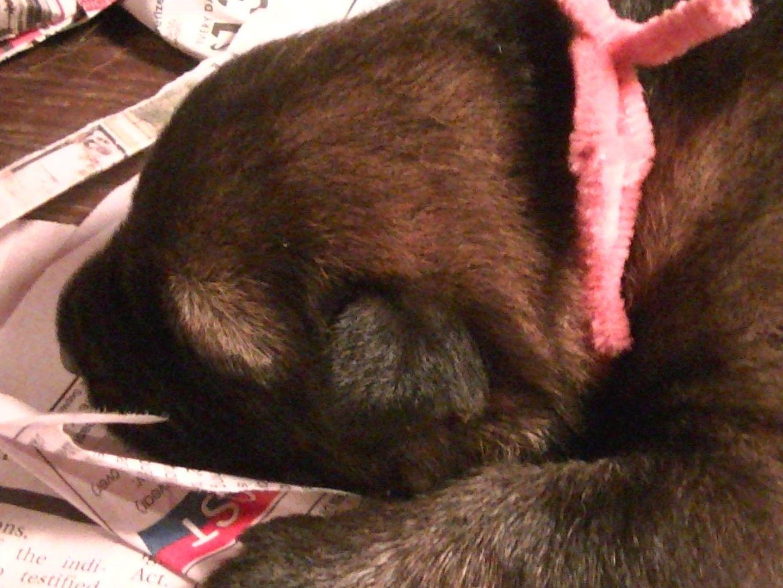 dach haus german shepherds german shepherd dog puppies for sale. Black Bedroom Furniture Sets. Home Design Ideas