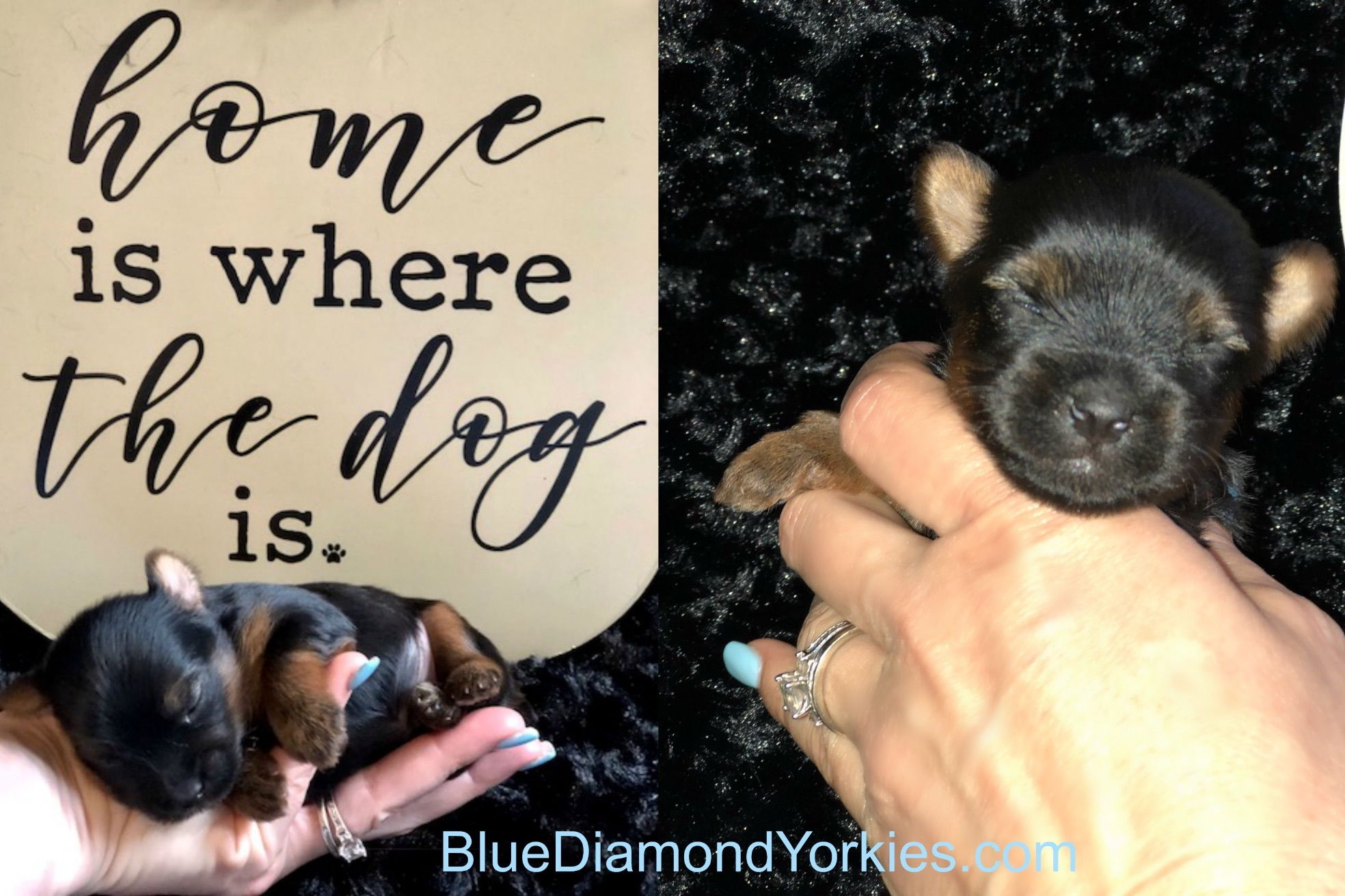 Blue Diamond Yorkies *Shipping Available* - Puppies For Sale