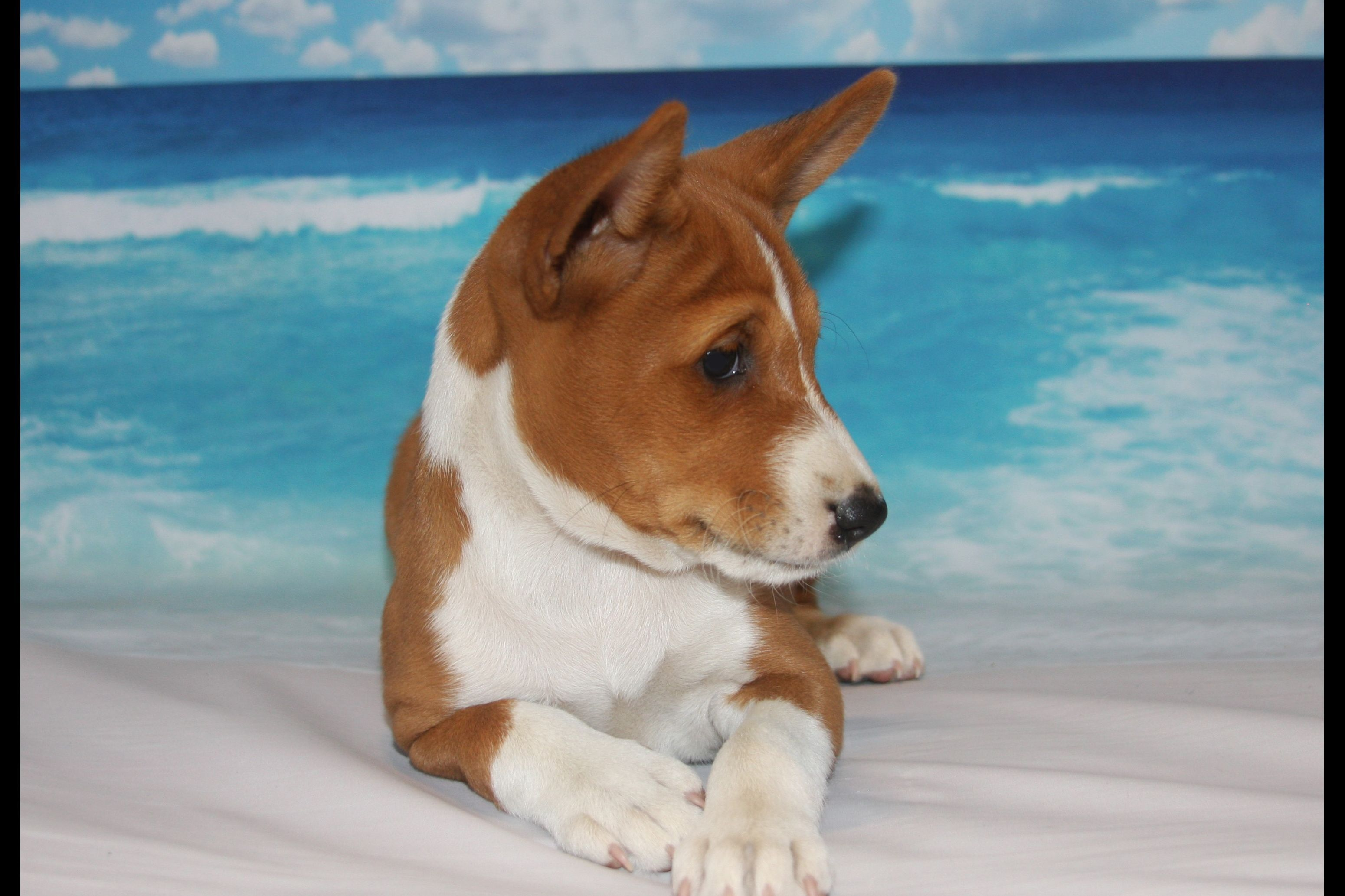 Avicy Basenji Puppies For Sale