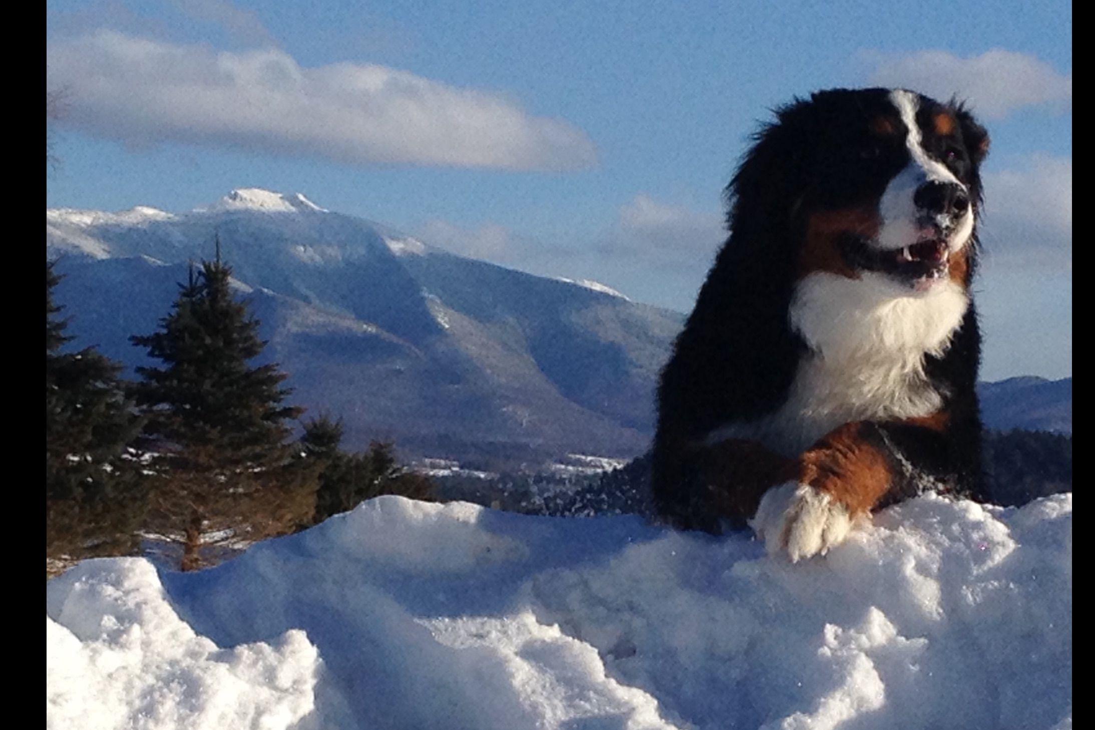 La Vita Bella Vermont - Puppies For Sale
