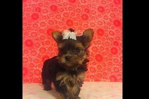 Yorkies Of South Georgia - Puppies For Sale