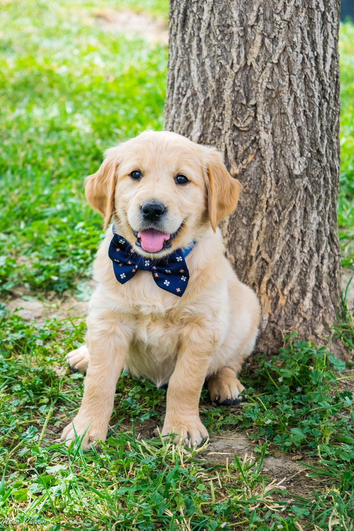 MIchelle Selby - Golden Retriever Puppies For Sale - Born on