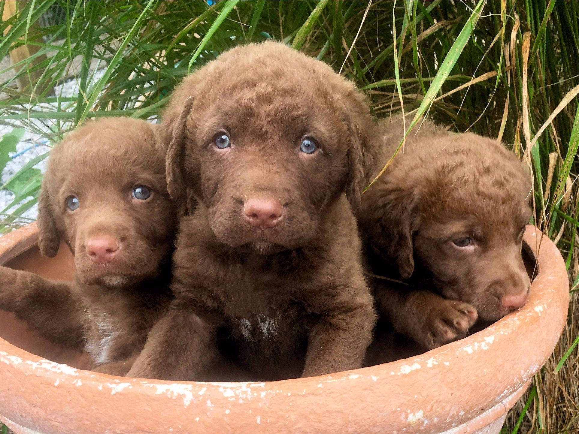 Female Dog Names Chesapeake Bay Retriever