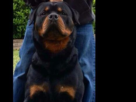 Bet Rottweilers Puppies For Sale
