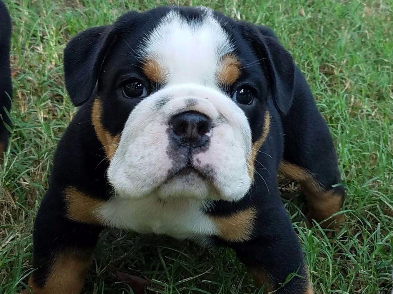 bulldog breeders in texas east texas english bulldogs dog breeders winnsboro tx 3552