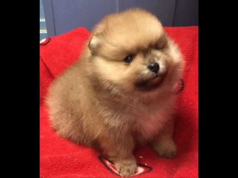 pomeranian club of america pomeranian for sale by avalon poms american kennel club 7699