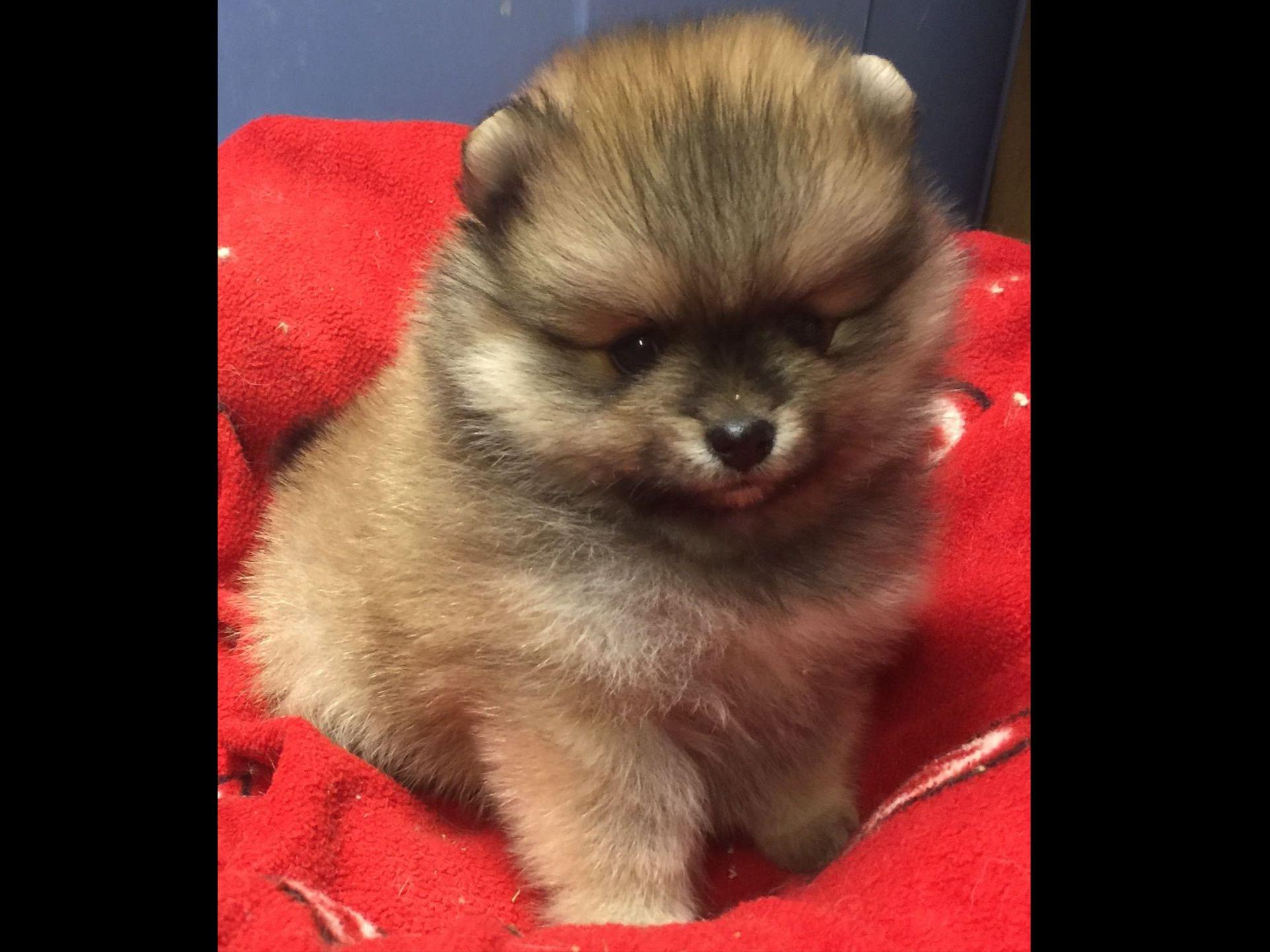 pomeranian club of america pomeranian for sale by avalon poms american kennel club 2891