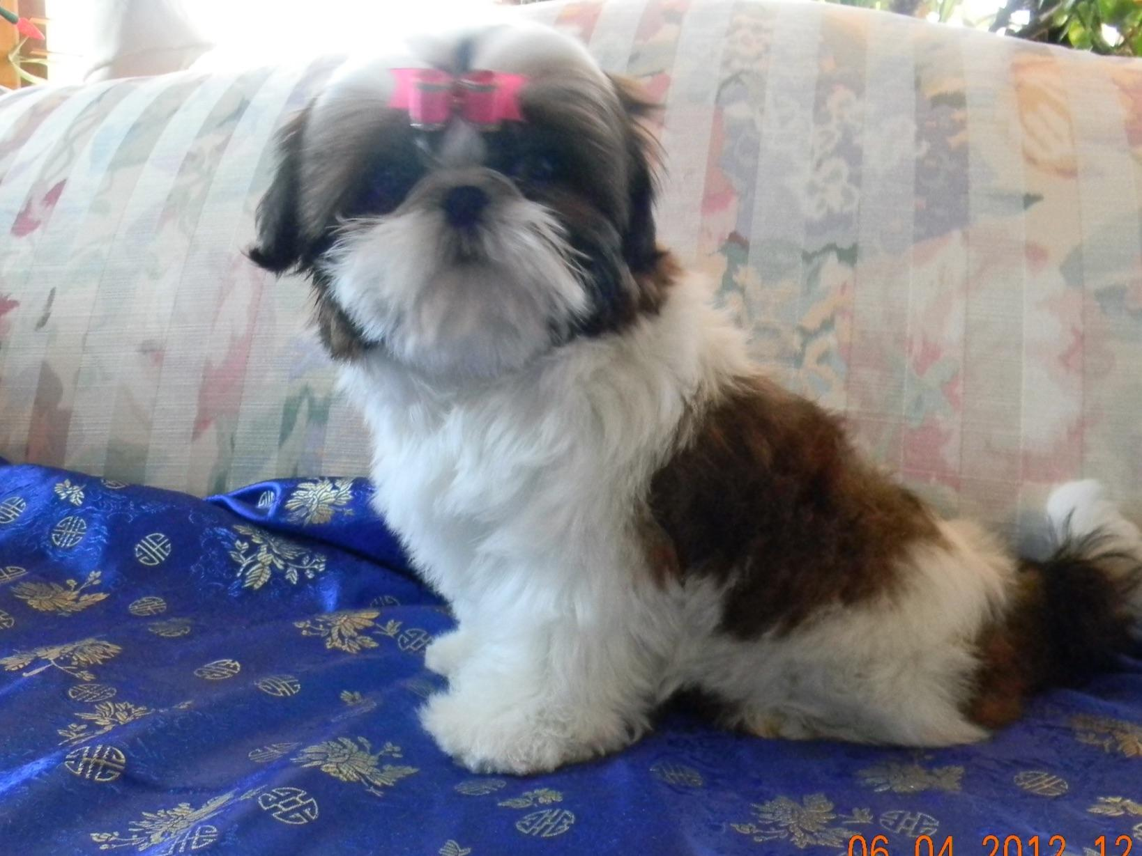 Special K Shih Tzu Puppies For Sale
