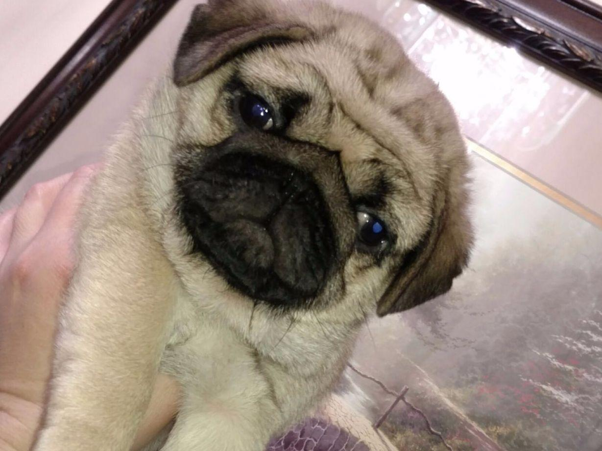 pug puppies for sale in nh pug for sale akc marketplace 1837